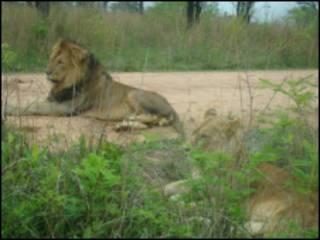 Leão em reserva na África do Sul (Foto: Kruger National Park)