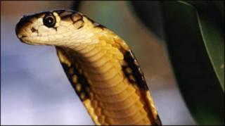 कोबरा