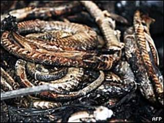 Serpientes quemadas del Instituto Butantan, en Sao Paulo, Brasil