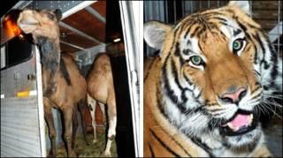 Lạc đà và hổ mất tích tại Canada. Ảnh: AP