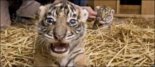 Cachorros de tigres de Sumatra