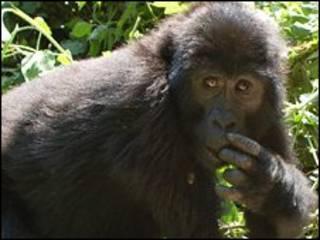 Gorila main kejer-kejaran