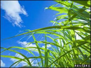 Plantação de cana (Reuters/Arquivo)