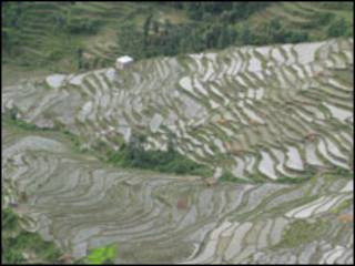 _rice-field-