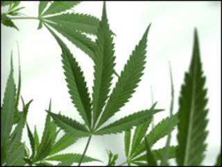 Planta de marihuana.