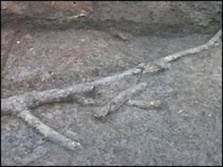 一株有1.1万年历史的巨大的树干