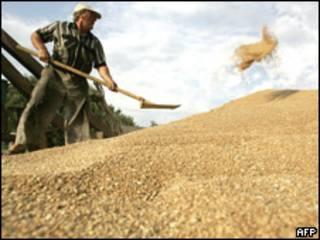 Agricultor ruso carga trigo.