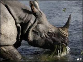 Rinoceronte de um chifre fotografado em parque no Nepal    Foto: AP