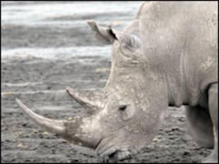 Rinoceronte branco no Quênia (Arquivo)