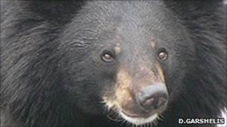 Gấu đen châu Á