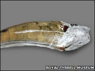 Зуб альбертозавра