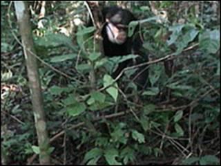 Chimpanzés na Guiné