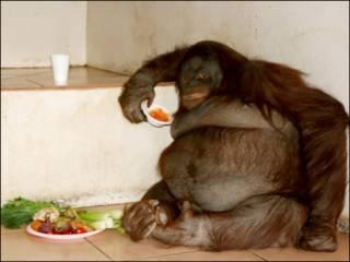 Oshine ( Foto: Monkey World Ape Rescue Centre