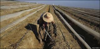 Campesino cosecha espárragos en Ica