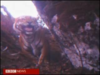 出现在高海拔地区的老虎