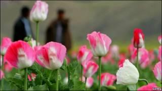 شکوفه های شقایق وحشی (مزرعه خشخاش)