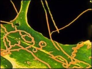सिफ़लिस के बैक्टीरिया