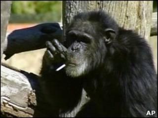 Курящий шимпанзе