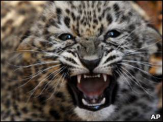 Леопард