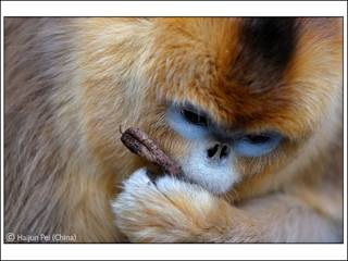 裴海君的获奖作品金丝猴(图片来源:自然历史博物馆)
