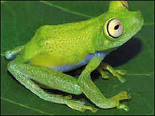Rana de la región amazónica (Foto cortesía de WWF).