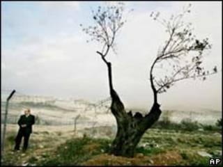 Oliveira palestina morta em frente a assentamento de Har Homa