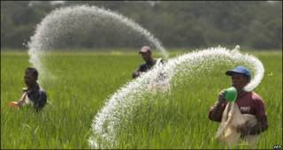 agricultores siembran arroz