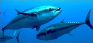 Atún rojo © OCEANA Keith Ellenbogen