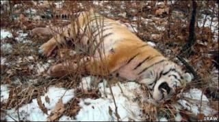 мертвый тигр