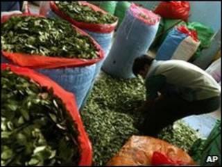 Сбор листьев коки