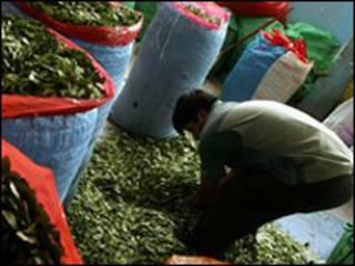 نبات الكوكا