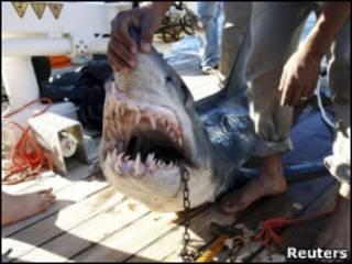 Pescador mostra tubarão capturado na semana passada em Sharm el-Sheikh