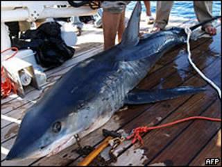 Tiburón capturado en el Mar Rojo.