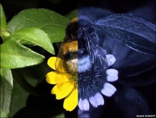 Sanvitalia, como la vemos nosotros y como la ven las abejas