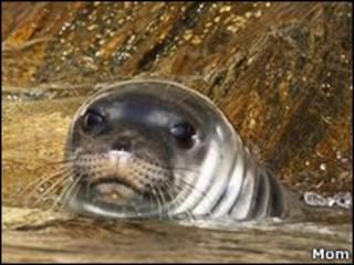 Средиземноморский тюлень