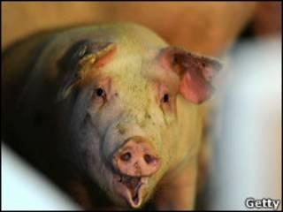 Свинья на ферме в Шлезвиге-Гольштейне на севере Германии