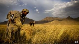 یک کشتزار گندم در افغانستان