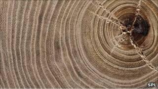 حلقات أشجار البلوط
