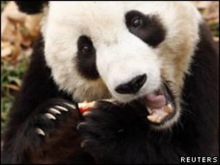 """大熊貓「美香」和「添添」在美出生的幼仔「泰山""""已被送返中國。圖為「泰山」資料照片(04/12/2009)。"""