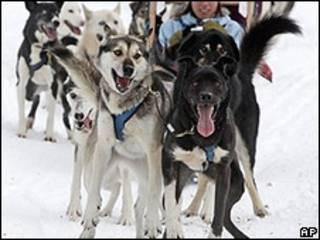 Cães da raça husky usados pela empresa Outdoor Adventures do Canadá (AP)