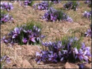 مزرعه زعفران در هرات