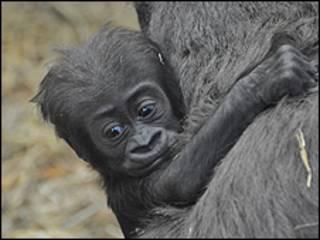 Tiny passa a maior parte do tempo com a mãe (foto: Zoological Society of London)