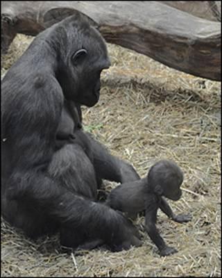 Tiny tenta os primeiros passos (foto: Zoological Society of London)