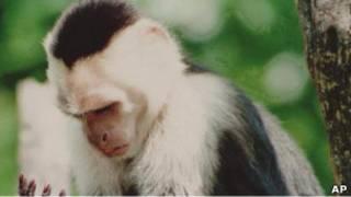 Kapuçin maymunu