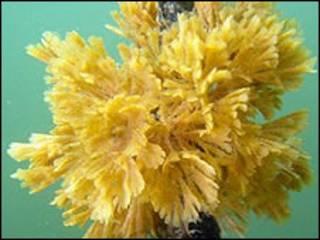 """Algas (no necesariamente las usadas en el proceso). Gentileza del """"INSTITUTO DE BIOLOGIA MARINA UACH"""""""