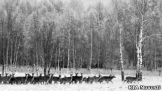 Олени в Завидовском государственном заповеднике (фото 1989 года)