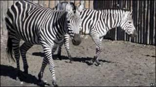 Зебри в київському зоопарку