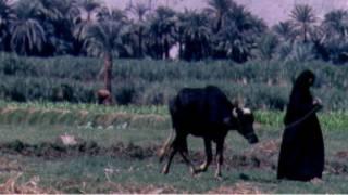 جاموسة مصرية