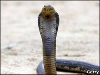 А чим пише єгипетська кобра?