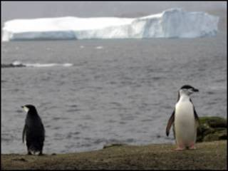 Pinguim de Chinstrap (foto - BBC)
